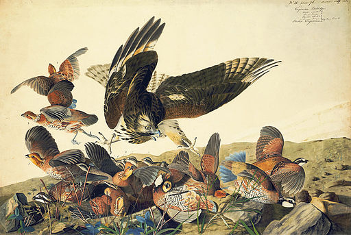 John_James_Audubon_-_Northern_Bobwhite_and_Red-shouldered_Hawk_watercolor_study