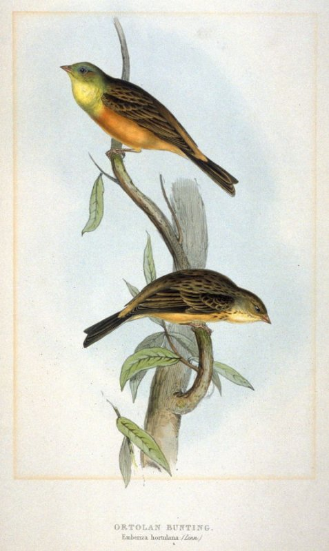 ortolanGOULD