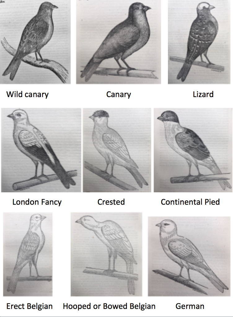 brent's canaries plates