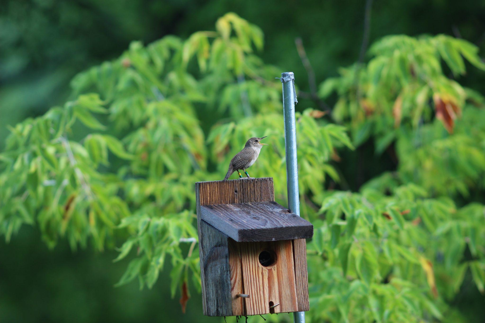 singing house wren