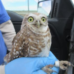 researcher handling burrowing owl