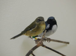 black-throated blue warblers in captivity