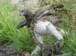 martial eagle