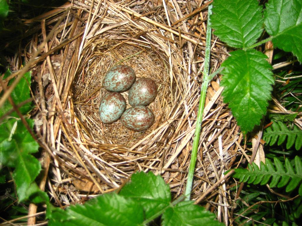 sparrow nest with eggs
