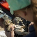 burrowing owl nestling