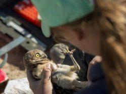 burrowing owl nestling