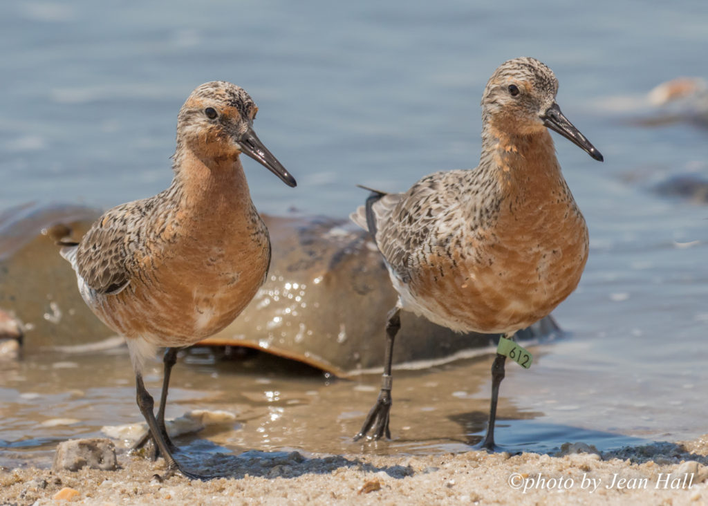 banded red knots