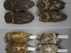 owl specimens