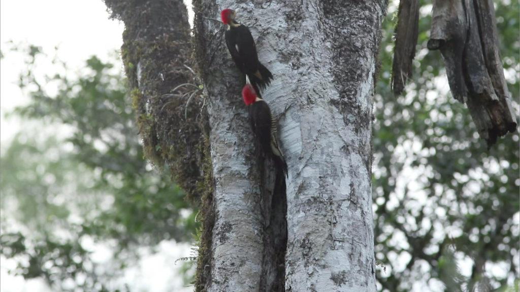 roosting woodpeckers