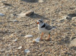 banded piping plover