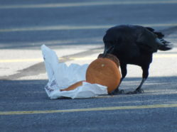 crow unwrapping burger