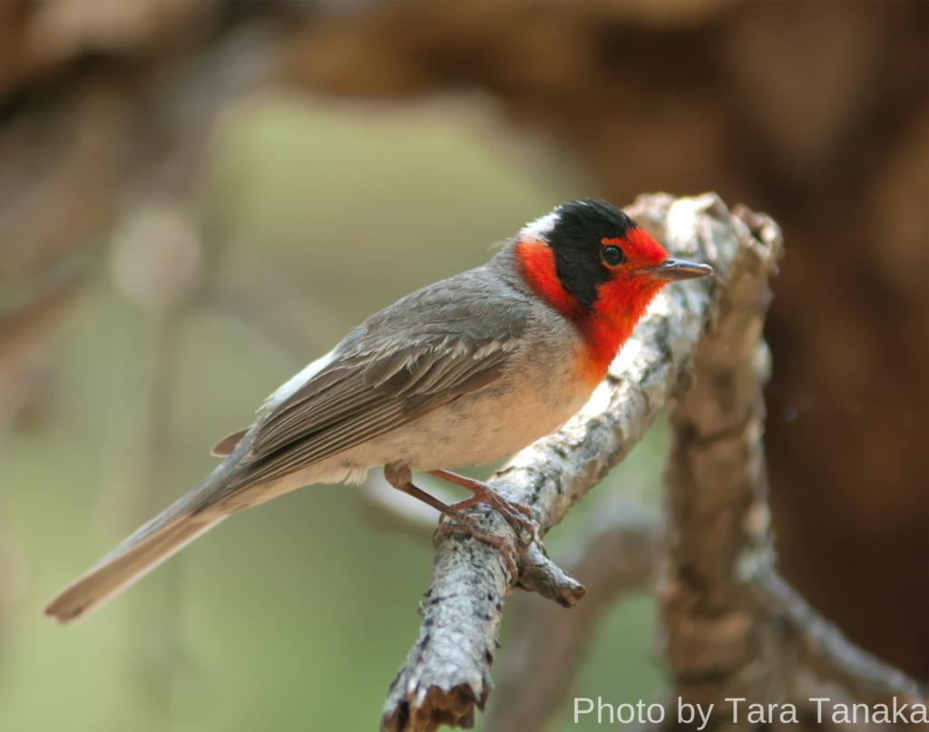red-faced wabler