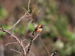 photo of hybrid hummingbird