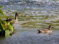 photo of Yellow-billed Duck male and hybrid female