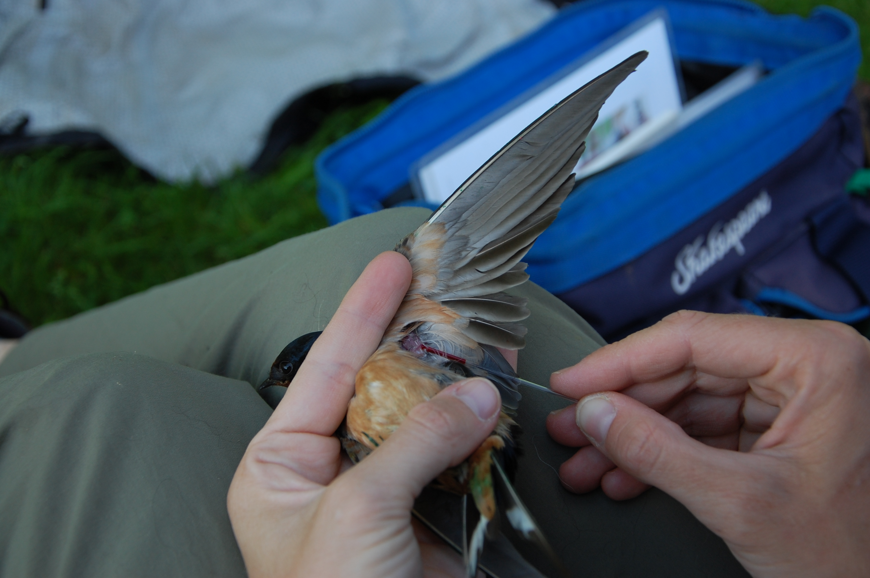 blood sample being taken from a swallow