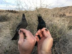 female and male phainopepla