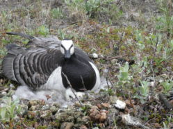 a gray, black, and white goose with a fluffy gray nestling, nestled on the ground in tundra habitat