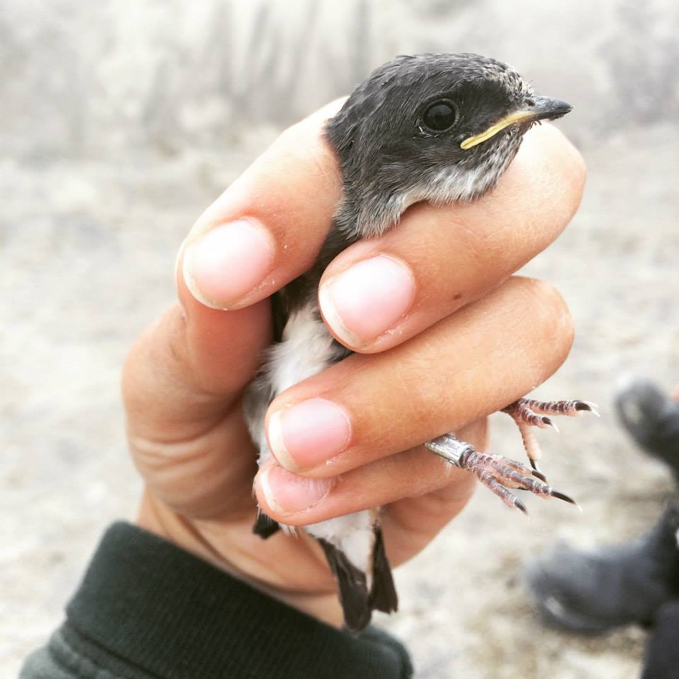 a gray and white baby bird with a yellow beak being held in a researcher's hand