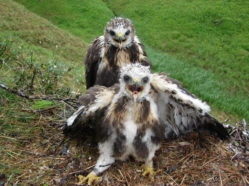 two fluffy brown and white hawk nestlings