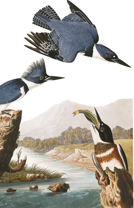 painting of three kingfishers, one in flight and two perched. one of the perched birds holds a fish in its beak.