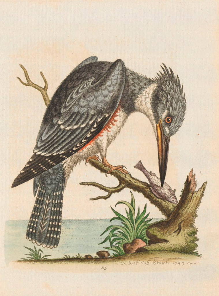 painting of a single posed kingfisher holding a bird in its beak.
