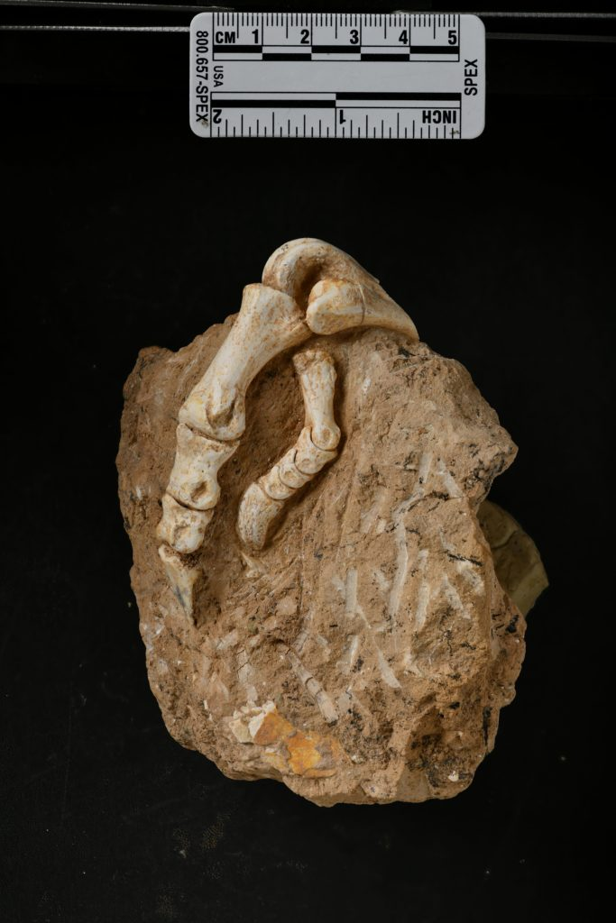 fossil bird foot embedded in a rock, against a black background