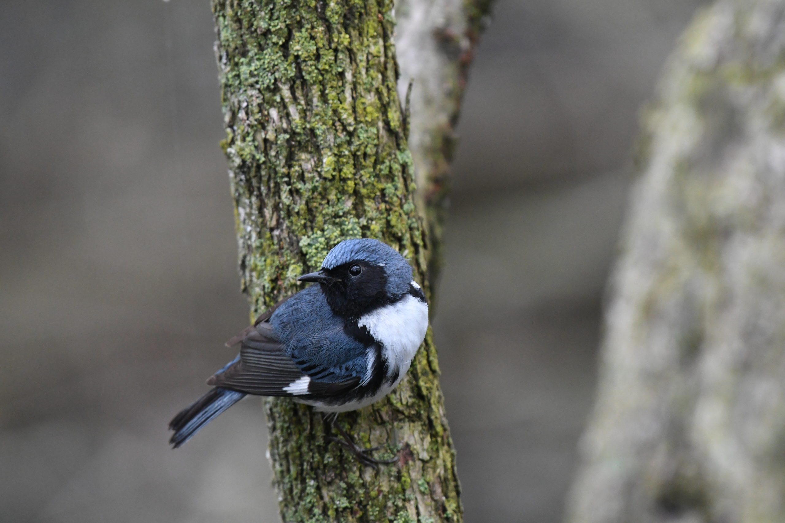 small blue, black, and white bird perched on a mossy tree trunk