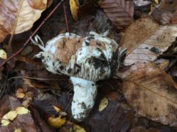 a small white fungus with bites missing, in front of a background of dirt and leaves