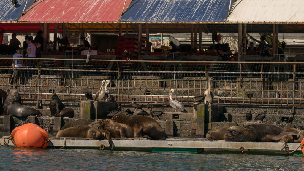a dock with sea lions, pelicans, and cormorants on it