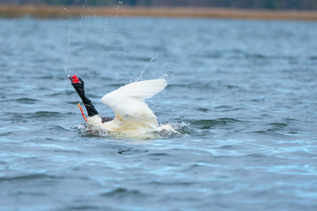 a white swan with a black head and neck being attacked by a predator under the surface of the water