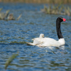 white swan with black neck and head and a baby swan on its back
