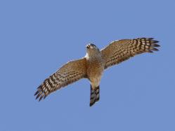 small hawk in flight, viewed from beneath