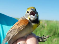 a small brown, white, and yellow bird being safely held by a researcher