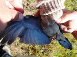 a dove's wing being held in a spread position by a researcher