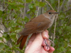 a brown songbird being held in a researcher's hand