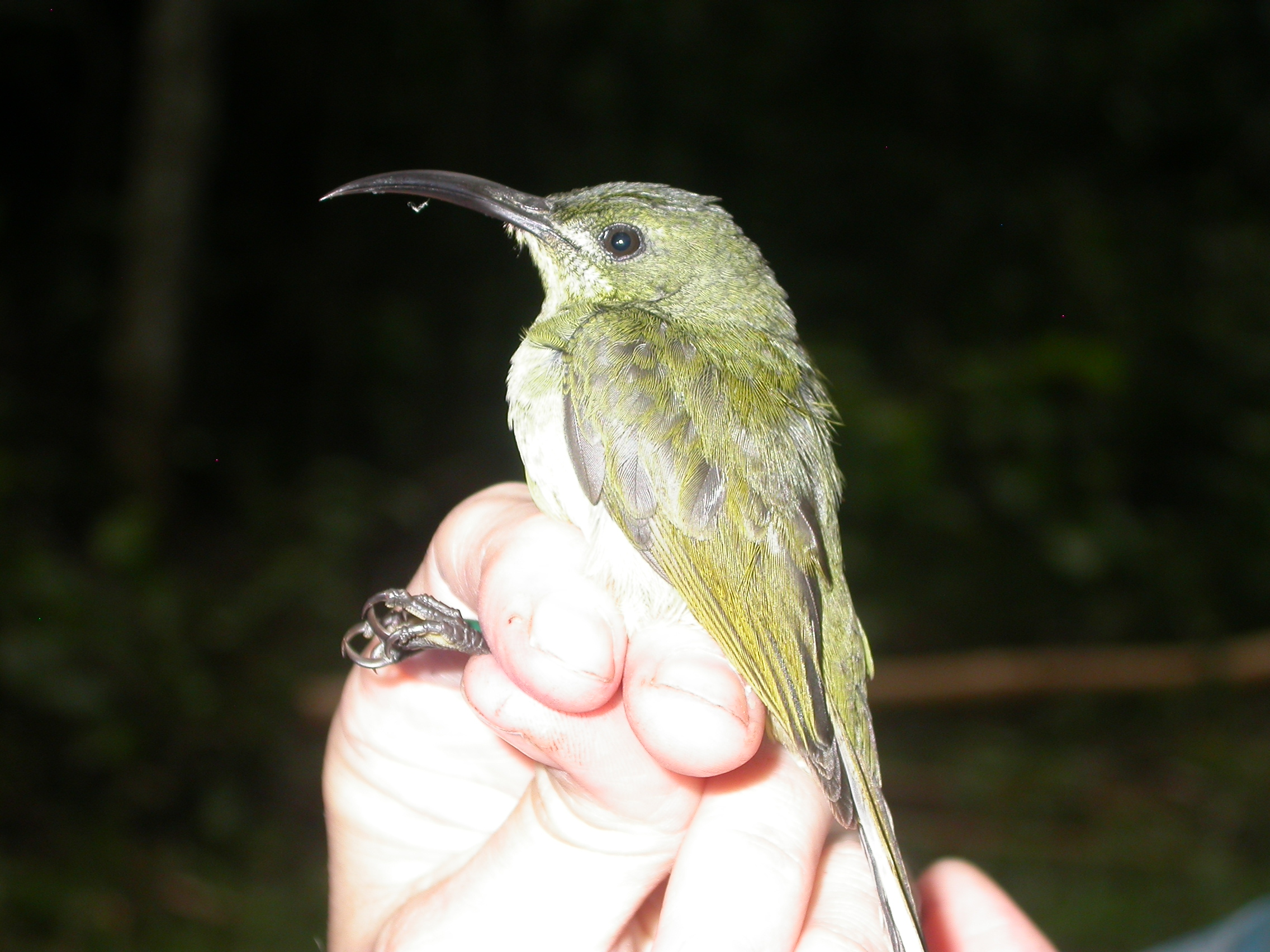a small green bird with a long, curved bill