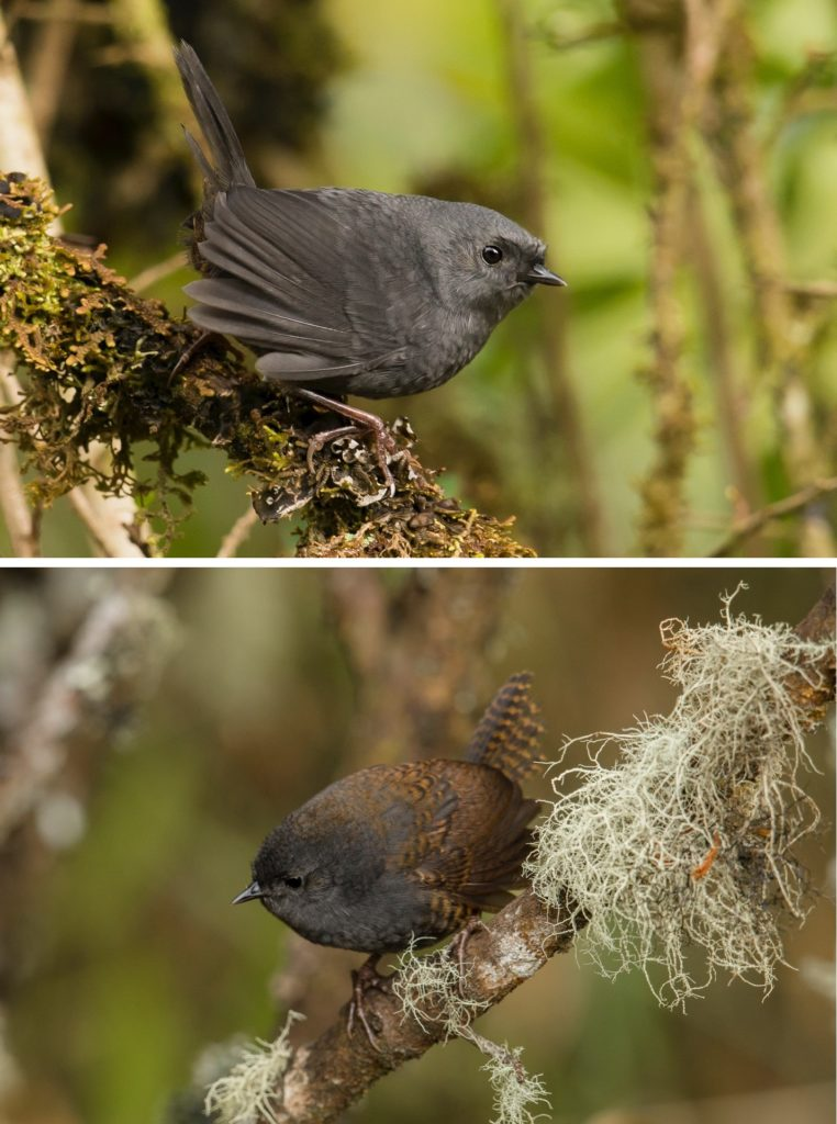 two photos of small, dark brown birds