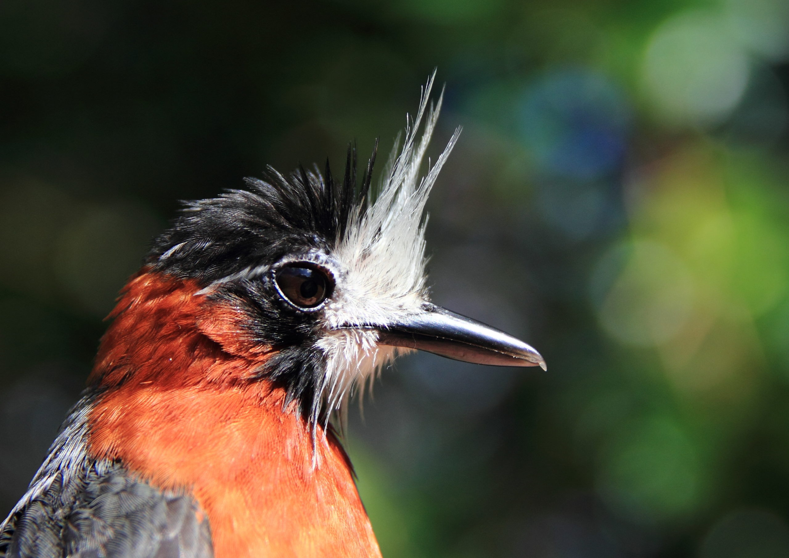 close up of a red and gray bird with a white plume on its face
