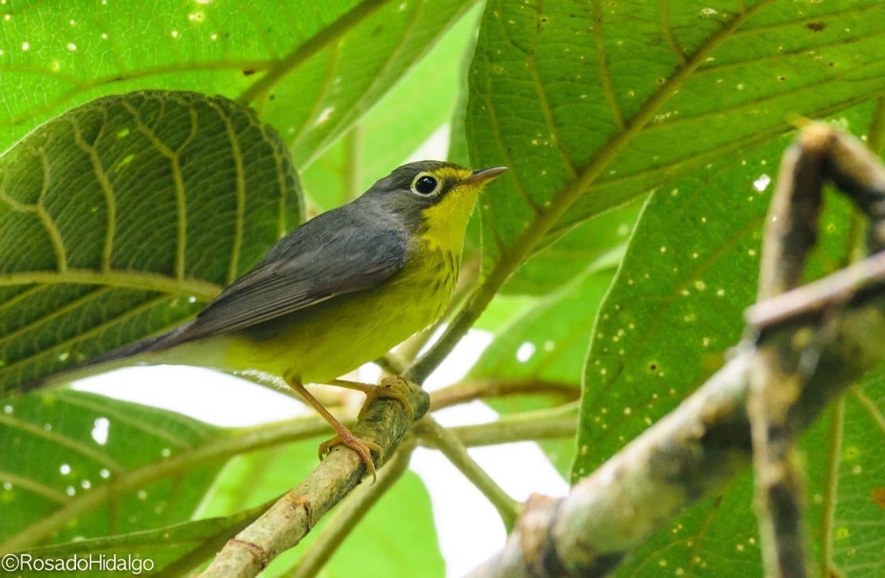 close-up of small grey and yellow bird in a tree