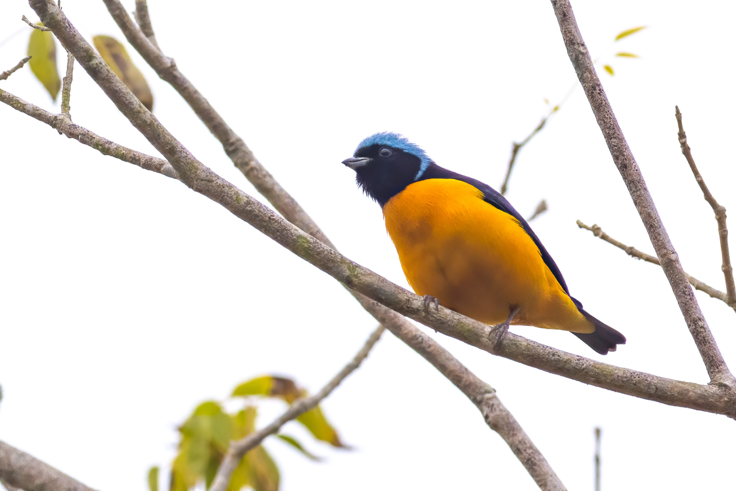 photo of an orange, black, and blue bird in a tree