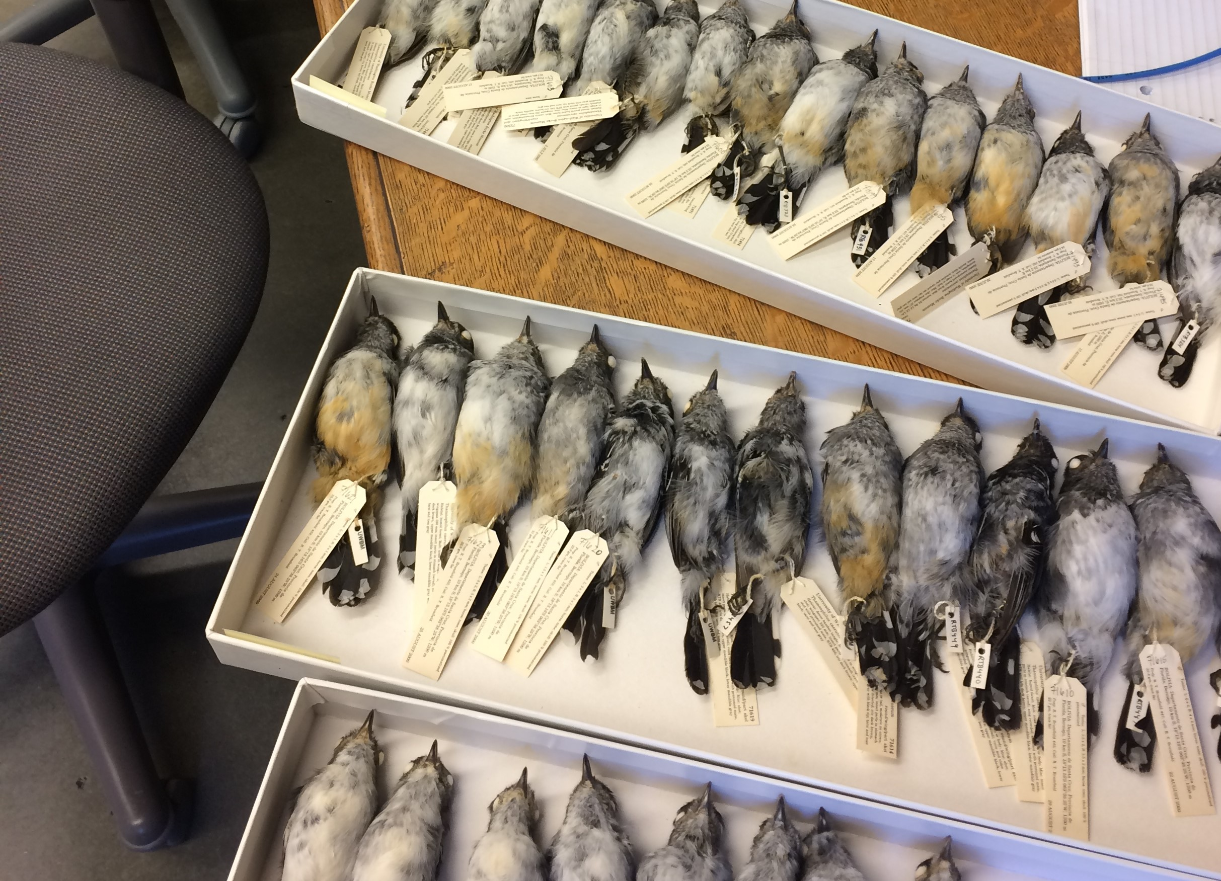 trays of preserved bird specimens