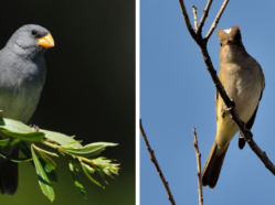 Photo of Neotropical austral migrant species: Tropeiro Seedeater and White-crested Elaenia