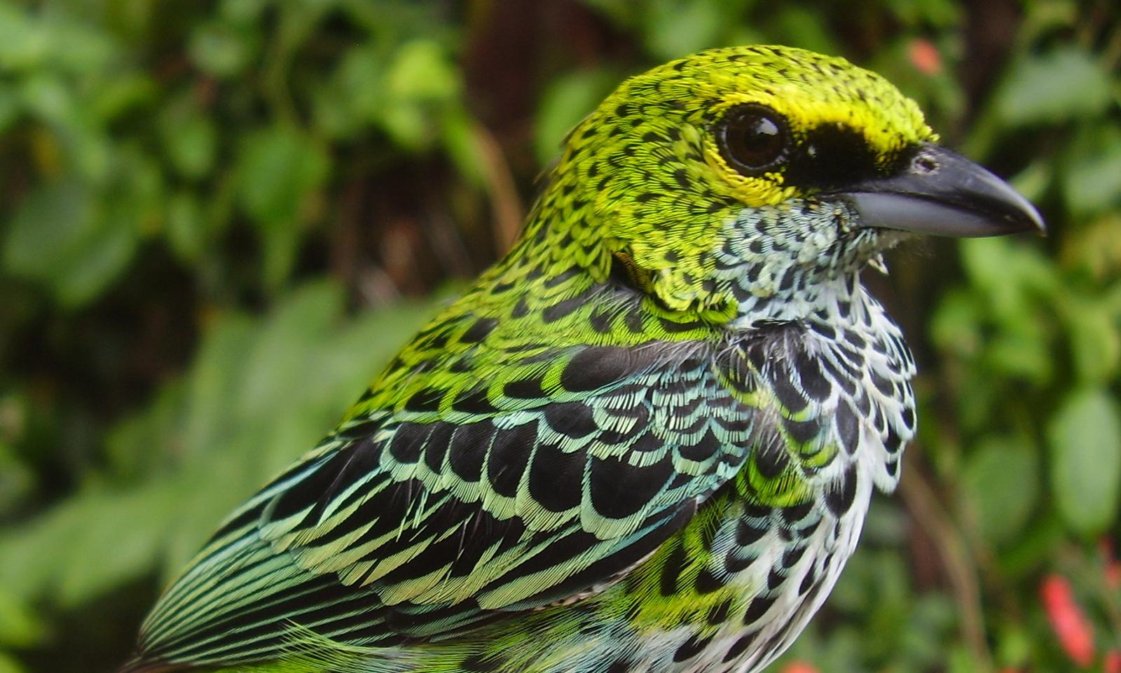speckled tanager