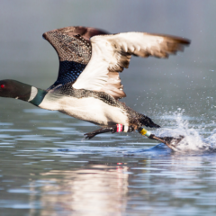 floater_loon_taking_off