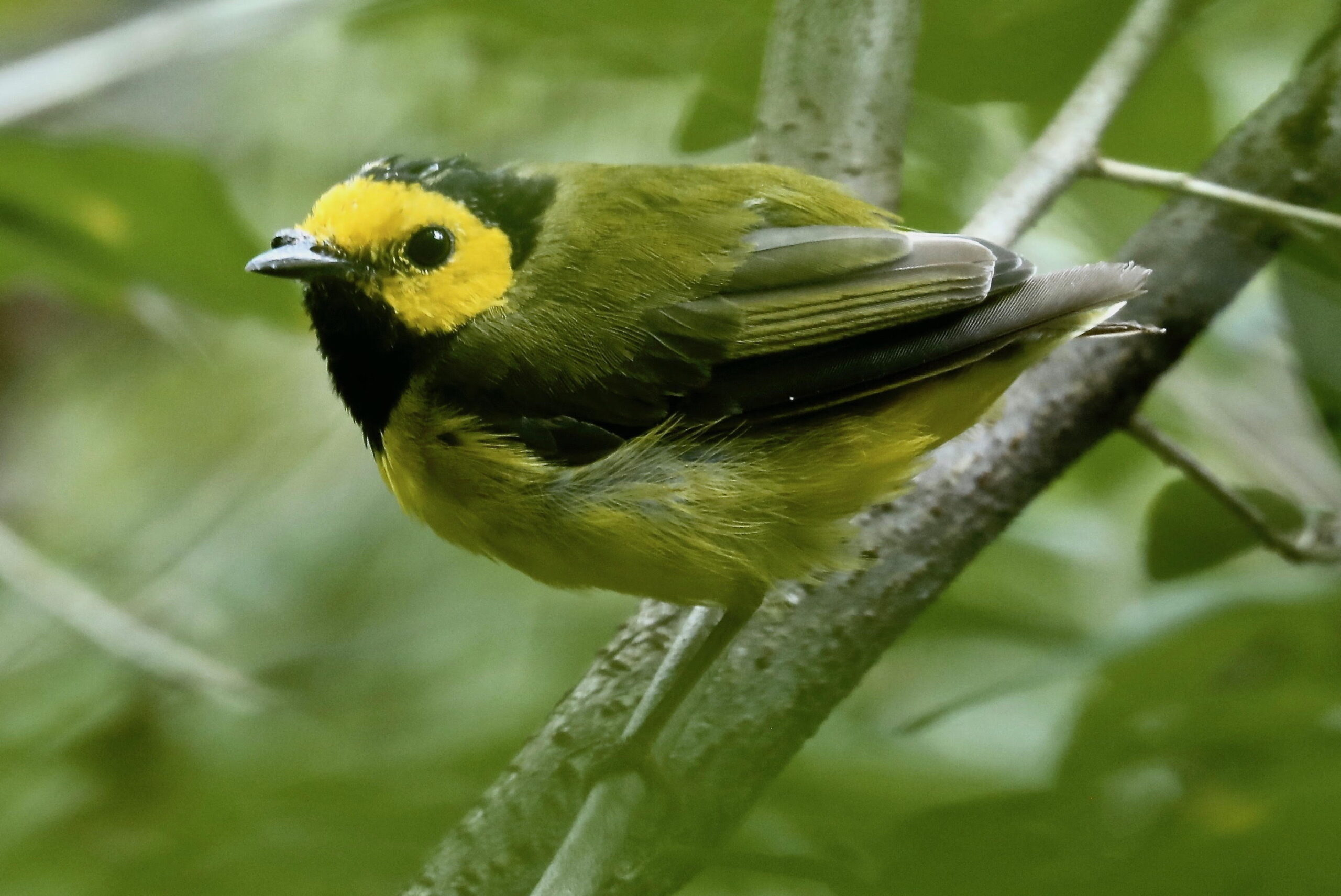 molting-male-hooded-warbler
