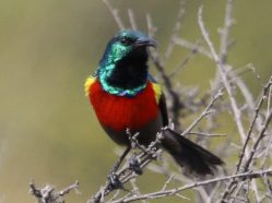 photo of northern double-collared sunbird on a branch