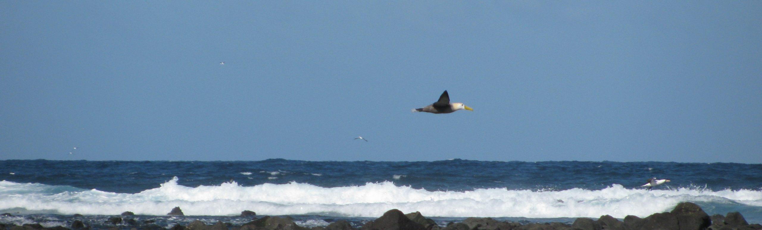 photo of waved albatross flying along a shoreline above crashing waves